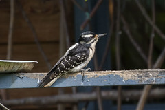 Hairy Woodpecker (Baractus) Tags: seward alaska us john oates hairy woodpecker
