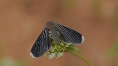 Melanchroia chephise (Stoll, 1782) (robertoguerra10) Tags: moth ctenucha ctenuchina arctiini erebidae lepidoptera mariposa preta black red head america sul south brazil brasil