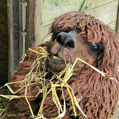 Mmmmmmmmm this tastes good. (Cajaflez) Tags: kinderboerderij dragonder animal dier zoogdier mamal alpaca veenendaal ngc ruby5 ruby10