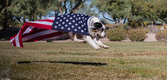 (26/52) The Land of the Free and the Home of the Brave (Jasper's Human) Tags: 52weeksfordogs flag patriot fly aussie australianshepherd run leap independenceday 4thofjuly