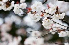 想念春天 ([M!chael]) Tags: nikon f3hp nikkor 10525 ais fujifilm superia400 japan film manual flower nature cherry 櫻花 sakura