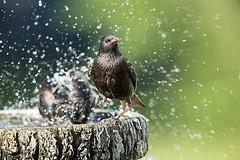 Étourneau sansonnet 17T7071 (René Pelletier) Tags: étourneau sansonnet european starling sturnus vulgaris