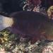 Bleeker's Parrotfish, juvenile - Chlorurus bleekeri