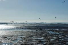 Gull paradise (Mauro Hilário) Tags: seascape saltmarsh gull bird landscape portugal water tide beautiful tagus river nature