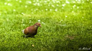 Golub/die Taube