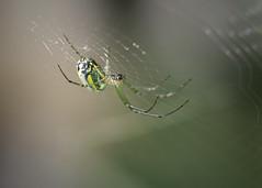 Bright Little Spider (Dan Demczuk) Tags: spider identified orchardspider leucaugevenusta dandemczuk