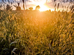 Sunset in the corn (Tony_Brasier) Tags: ospringe england unitedkingdom gb sky corn bluesky sunset samsung s7 faversham fields farm fun flickr hot kent raw rocks