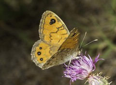 Wall Brown Butterfly (wild) (Jims Fotos) Tags: lasiommatamegera wallbrown butterfly eos1dx ef10028 canon insect flower menorca spain