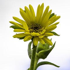 Compass Plant (Silphium laciniatum) (woodchuckiam) Tags: compassplant silphiumlaciniatum pleasantvalleyconservancy wisconsin wildflower flower plant perennial native yellow tall prairie woodchuckiam