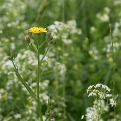 (thombe77) Tags: leica flower blume sommer summer wiese grass gras