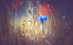 Wild flower (Dhina A) Tags: sony a7rii ilce7rm2 a7r2 carlzeissjenavisionar119mmf19 carl zeiss jena visionar 119mm f19 19 vintage cine cinema projection lens projector bokeh