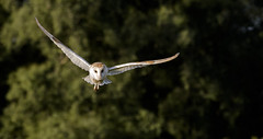 The Barn Owl. (wayne24185071) Tags: barnowl tytoalba wild wildlife bird owl ghost white canon1dx trees field hunting wings facialdisk hover