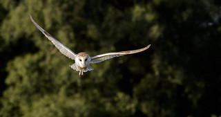 The Barn Owl.