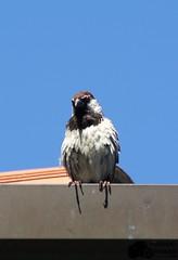 Angry Bird (Machovicz Photography) Tags: bird angry italia italy animal bluesky outdoor wildlife beautiful colors
