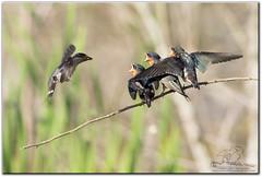 Morning Delivery (mlibbe) Tags: apopkawildlifedrive hirundorustica apopka barnswallow birds chick florida nature orangecounty swallow wildlife wwwmichaellibbephotographycom
