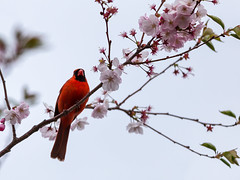 Cardinal on High (Bob90901) Tags: cardinal high cherryblossoms spring branch sky rpg90901 portland maine blossoms bird flowers morning cherrytree canon 6d canonef70200mmf28lisiiusm canon70200f28lll 2017 may 0735