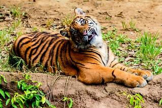 Sumatran Tiger's Cub : スマトラトラのパンプ