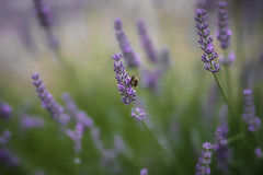 Beautiful lavender and bee .. (Just Julie - Photography) Tags: levander nature flower park garden bee purple green
