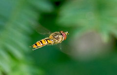 Marmalade Fly (Chalto!) Tags: newforest hampshire insect fly hoverfly flight flying hover hovering frohawkride episyrphusbalteatus marmaladefly