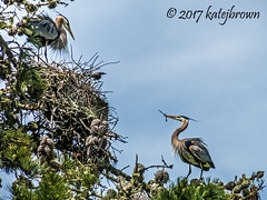 Courting Herons 1 (katejbrown photography) Tags: katejbrown katebrown herons greatblueheron courting tree bird birds goldengatepark sanfrancisco stowlake nesting