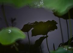 Lotus 荷 (MelindaChan ^..^) Tags: macau 澳門 lotus 荷花 chanmelmel mel melinda water plant bokeh melindachan green leaf