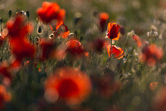 Poppies delight (henrik_thiele) Tags: poppies sunset backlight red green vaucluse mohn rot grün sonnenuntergang shining
