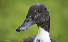 Duck Portrait (Paula Darwinkel) Tags: duck bird mallard animal wildlife nature