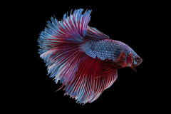 siam betta fish (da nokkaew) Tags: hobby isolated luxury motion freshwater flame eye fighting fin action nature pet swimming tail tropical water space scale pop pose power exotic fish ballet beautiful beauty beta background elegant aquatic animal art betta biology domestic dress aggressive dancer cute aquarium color chinese thailand alone asia colourful colorful