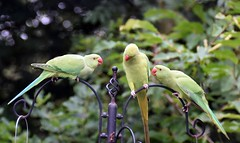 Ring Necked Parakeets  (35) Mum talking to two of this years Baby's how to get down to the nuts (John Carson Essex UK) Tags: thegalaxy thegalaxystars rainbowofnature supersix