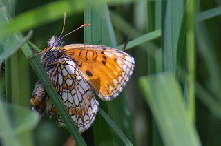 Niidu-võrkliblikas; Melitaea athalia; Heath Fritillary