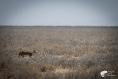 _JN14830 (Fotograf Jonas Nimmersjö) Tags: caracal mlimanisafari safari serengeti