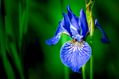 iris (svklimkin) Tags: iris flower nature blue alone garden botany
