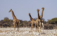 Jirafes_Namíbia, _DSC00331983 (Francesc/Francisco) Tags: jirafas jirafes desert desierto namíbia animal