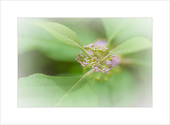 Of Dreams ~ (FLGalleria) Tags: canon soft dreamy ethereal depthoffield pink flower leaves pastel nature blooms sunshine macro