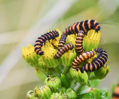 cinnabars (conall..) Tags: cinnabar moth larvae larva tramore dunfanaghy