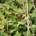 Groseilles rouges du Jardin de la Maladrerie Saint-Lazare