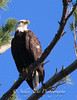 IMG_7219 3baldeaglecopygr (Sally Knox Sakshaug) Tags: ourdoors nature wildlife bald eagle symbole americal usa perched tree looking up closeup majestic adult brown white eye beak golden