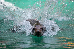 junge Mutter (Mel.Rick) Tags: zooduisburg tiere säugetiere raubtiere meeressäuger seelöwe californischerseelöwe