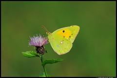 DSC_1419-07-08-1 - colias crocea (r.zap) Tags: coliascrocea farfalla rzap parcodelticino