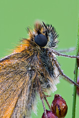 Skipper (-denju-) Tags: sonynex5t canonef100mmf28macrousm raynoxdcr250 berlebachmini tripod wemacrorail naturallight heliconfocus lightroom photomacrography focusstacking focusstack fieldstack makro macro insect insekt morgen tau dew dickkopffalter