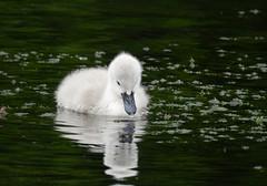 Cygnet (PhotoLoonie) Tags: cygnet swan muteswan wildlife nature
