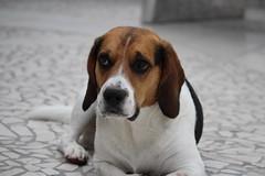 Lucky (LuckyMeyer) Tags: beagle hund jagdhund haustier dog