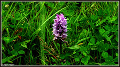 """ Splendour in the Grass "" ("" P@tH Im@ges "") Tags: spottedorchid beauty leadpollution greengrass splendourinthegrassfestival toxic saturday"