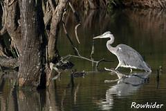 Héron Cendré (Rowhider) Tags: canon 70d sigma 150600 contemporary domaine des oiseaux de mazères héron cendré ardea cinerea grey heron
