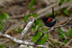Red Backed Fairy Wren (Geoffsnaps) Tags: red backed fairy wren nikond810 nikon d810 fx nikonnikkor200500mmf56eedafs nikkor 200500mm f56e e ed afs malurus melanocephalus i love birds feathers beautiful pretty superb explored