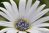 アークトチス Arctotis (qooh88) Tags: アークトチス arctotis アルクトティス 羽衣菊 ハゴロモギク paleblue babyblue 淡水色 水色 キク科 asteraceae arctotis・grandis
