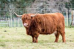 ;P (Images by Leah) Tags: highlandcows cow horns longhorn mini rural bovine farm nz waikanae reikorangi livestock animal field paddock grass cattle