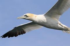 Gannet (robin denton) Tags: wildlife morusbassanus gannets flight flying bemptoncliffs bempton rspb nature seabirds