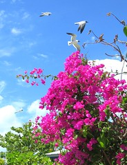 Carribean Pink (moonjazz) Tags: pink bahamas island flowers seagull fly blue color photography cruise caribbean cay bouganvilla paradise travel contrast sky perfect