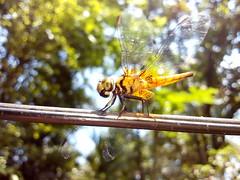 Colorful Dragonfly. (Shakil Ahmed6) Tags: macrophotography macro dragonfly colourfuldragonfly beautiful colourful yellow seat wire mobile mobilecamera huawei huaweiluau22 5megapixel autofocus autowhitebalance aperturef24 iso80 shutterspeed1302 netrakona dhaka bangladesh focallenght35mm green greenbackground